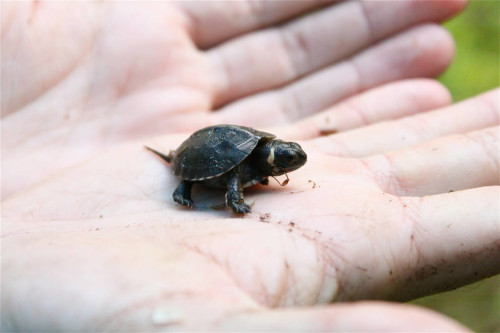 Baby bog turtle (  Glyptemys muhlenbergii) . This species is Critically Endanger and listed in CITES Appendix I. Photo: USFWS
