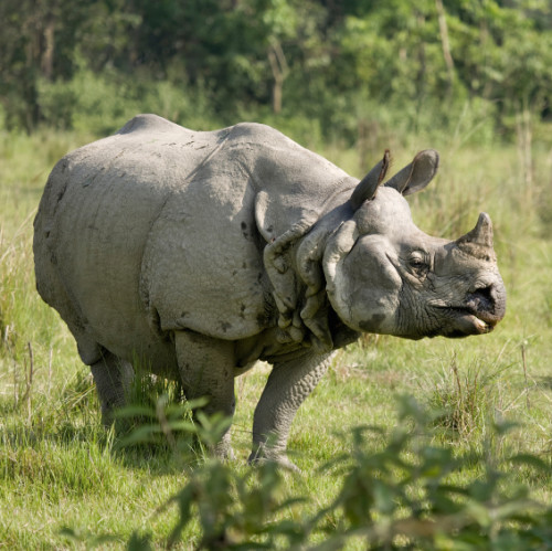 """Nepal's success is the result of a multi-pronged strategy - a strategy which does *not* include speculating on rhino horn trade nor does it include rhino trophy hunting."""