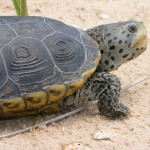 23 Most Threatened Turtle and Tortoise Species in the United States