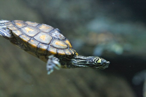 Yellow-blotched Map Turtle (Graptemys flavimaculata). Photo by Ryan Poplin via Wikimedia Commons
