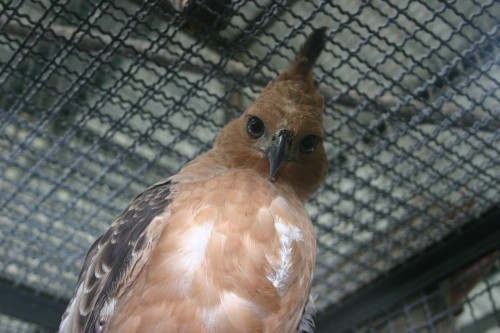 Indonesia's national bird, the Javan Hawk-eagle is at serious risk of extinction due to trade. Photo courtesy of TRAFFIC