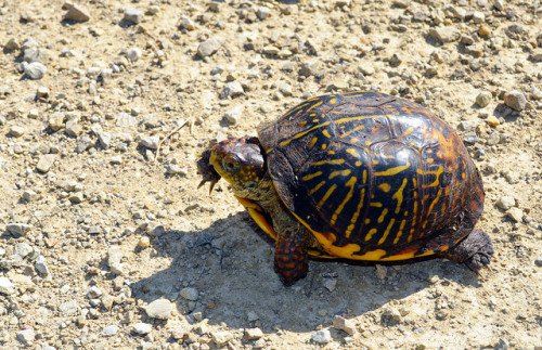 Ornate Box Turtle (Terrapene ornata). Photo: Joanna Gilkeson / USFWS