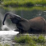 U.S. Completes Near-Total Elephant Ivory Ban to Close Trafficking Loopholes