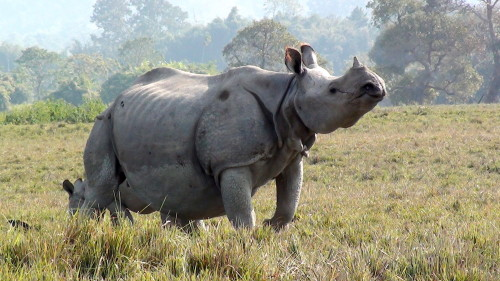 India is home to 70% of the world's greater one-horned rhino population. Photo by Dasdhritiman via Wikimedia Commons