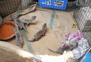 Small-clawed Otter pups seized in Suvarnabhumi International Airport Bangkok in January 2013. Photo © TRAFFIC
