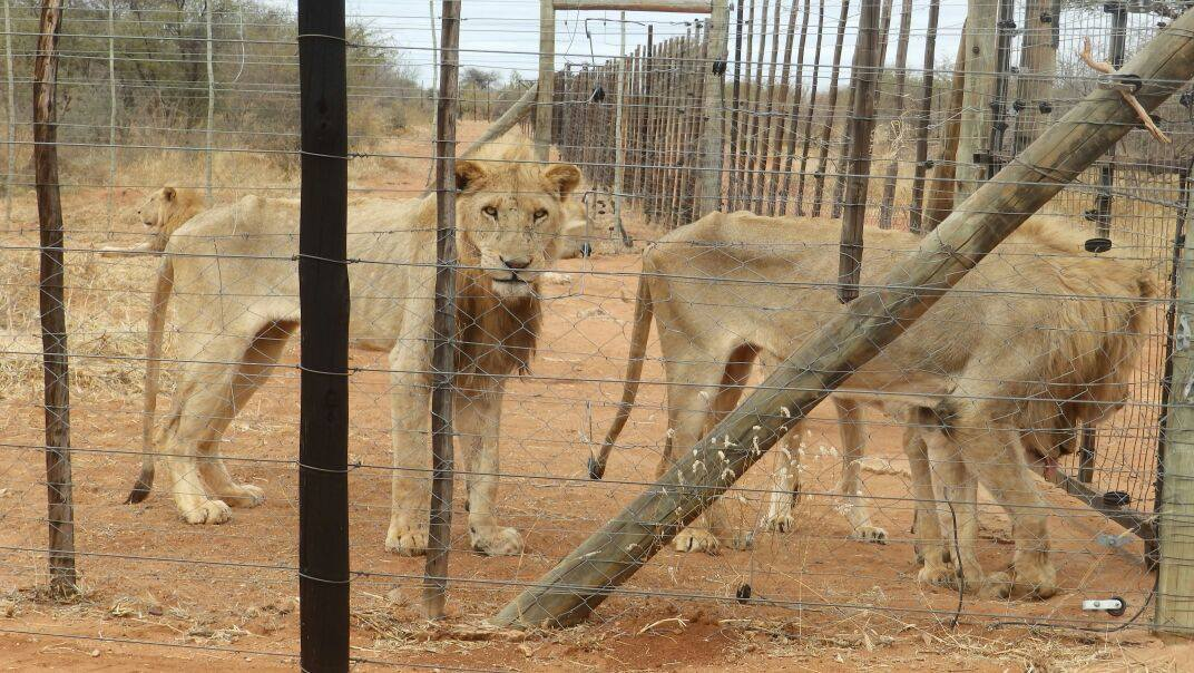 The United States will allow lion trophy imports if strict conditions are met.