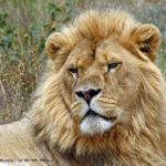 IUCN Lion Report Raises Questions