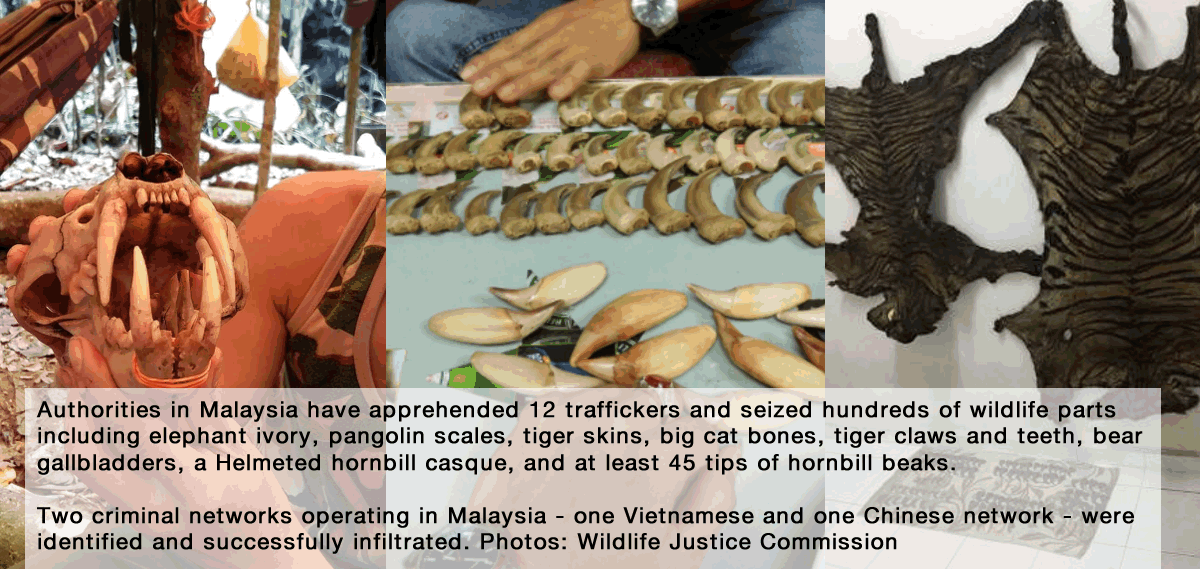 A collaboration between Perhilitan, Department of Wildlife & National Parks Malaysia, and the Wildlife Justice Commission has resulted in significant arrests and the disruption of two transnational wildlife criminal networks. Photos: Wildlife Justice Commission